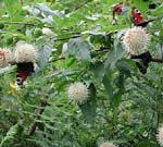 Cephalanthus occidentalis, bollbuske