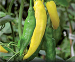 Chili Capsicum annuum 'Hot Lemon'