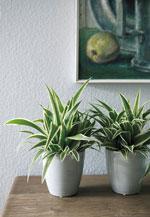Chlorophytum comosum (ampellilja)