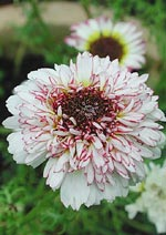 Chrysanthemum carinatum 'Coconut Ice'