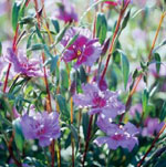 Rubinclarkia, Clarkia rubicunda