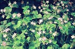 Vårsköna