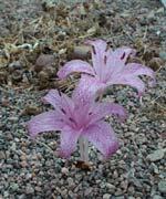 Colchicum variegata