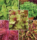 Färgnässla, 'Coleus Collection'
