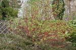Cornus alba 'Sibirica' på våren