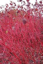 Cornus alba 'Sibirica' på vintern