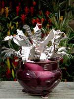 Cryptanthus 'Black Mystic' i kruka