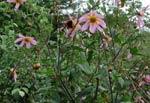 Dahlia sorensenii