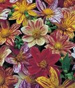 Sommardahlia, Dahlia variabilis 'Fireworks Mixed'