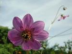 Dahlia merckii, en vildart. Hög men sirlig art med ganska små blommor i lilarosa.