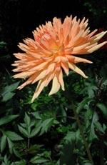 'Mrs Clemens Andries', en hög kaktusdahlia i en läcker färg.