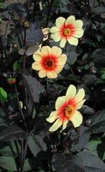 'Sunshine', en medelhög, enkelblommande sort med mörka blad och lysande, soliga blommor.