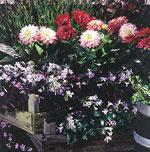 Blanda gärna dahlia ton i ton. Den lilla rödbladiga triangeloxalis är fin som kantväxt.