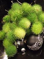 Dekorativa, limegröna fröskidor och svarta julkulor på fat.