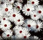 Stor doroteablomma, Dorotheanthus bellidiformis 'Gelato White'