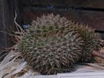 Durian, Durio zibetinus