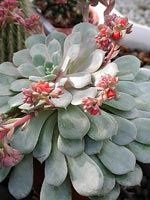 Echeveria i blom