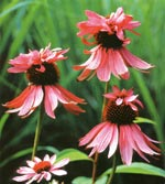 Röda solhatt, Echinacea purpurea 'Indianer'