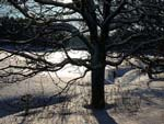 Ek med vårsolsglitter i bakgrundens snövidder.