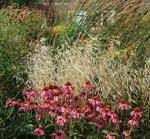 Den röda solhatten Echinacea purpurea 'Magnus' och de mognande, sirliga vipporna av Molinia arundinacea 'Windspiel'.