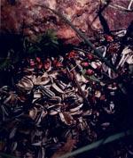 Eldlus Pyrrhocorus apterus