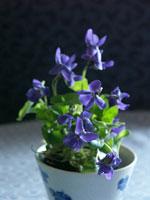 En kruka med Viola odorata 'Königin Charlotte' i kaffekopp