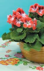 Engelsk pelargon (Pelargonium x domesticum)