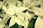 'Sonora White'
