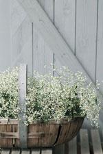Euphorbia hybrid 'Diamond Frost'