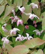 Epimedium x yongianum 'Roseum'