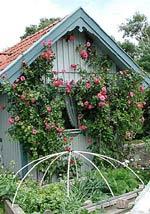 Rosa 'Etude' och odlingsbädd