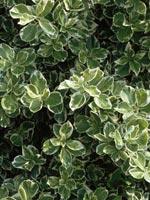 Klätterbenved Euonymus fortunei 'Emerald Gaity'