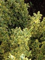 Klätterbenved Euonymus fortunei 'Emerald'n Gold'