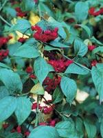 Benved Euonymus europaeus 'Red Cascade'