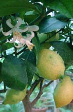 Citron med blommor.