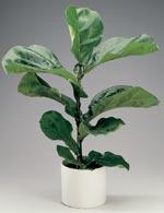 Fiolfikus, Ficus lyrata