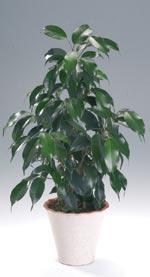 Benjaminfikus, Ficus benjamina