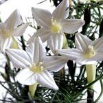 Fjäderstjärnvinda, Ipomoea quamoclit 'White Feather'