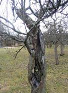 Ett träd som är kraftigt skadat men som ändå växer.