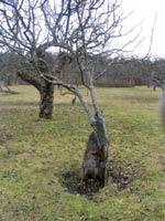 Rörformig rest av en stam som skjutit två nya träd som beskärs som nysatta träd.