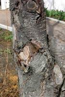 Mindre bra kapningar där stumpar lämnats. Trädet vallar inte över dessa snitt utan de dör och blir inkörsport för svampar.