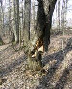 Det oundvikliga har skett och trädet är alltför ruttet för att föryngra.