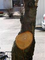 Ett bra snitt av en grov gren där trädet kommer att valla in såret. Eftersom det är ett körsbärsträd gjordes kapningen redan på hösten. Snittytan har nu torksprickor så att det kommer inte att blöda. Snittet är lodrätt vilket gör att det inte är utsatt för regn. Något medel som lackbalsam är inte behövligt eftersom trädet sköter läkningen själv.