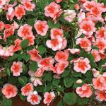 Flitiga Lisa Impatiens 'Envoy Peach Butterfly'