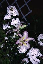 Samma färgnyans men helt olika växter ger ofta mycket lyckade kombinationer. Här höstflox och lilja i en ljuvlig kombination.