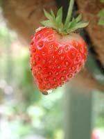 Första jordgubben