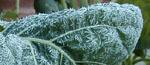 Rimfrost på grönkålen