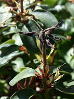 Frostskador på rododendron