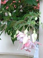 Fuchsia 'Holly's Beauty' och rosa blåkrage.