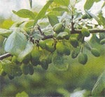 Gallra för fin frukt